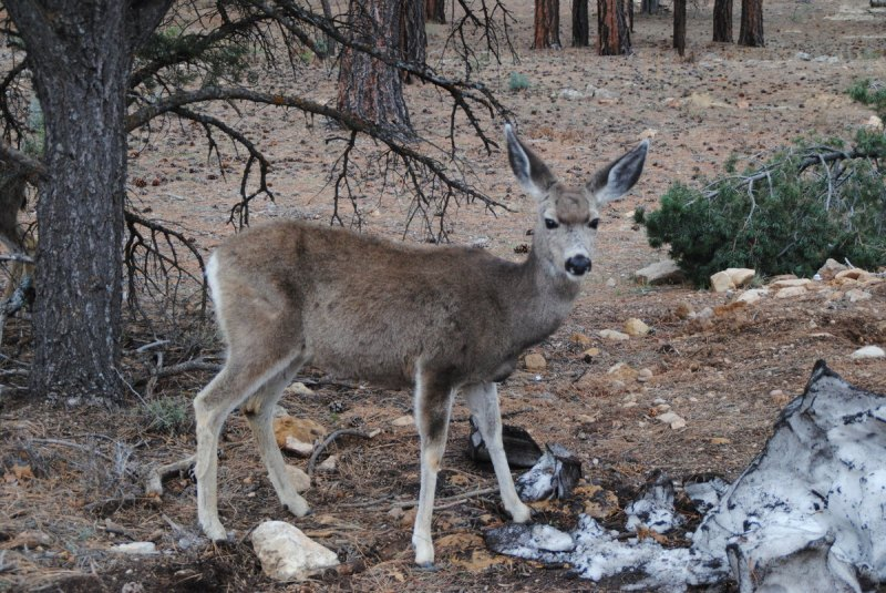 cerf-grand-canyon