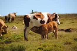 Vaches, Le parc régional du Pilat